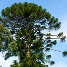 Monkey Puzzle Tree, Berwick, Australia. by johnrf