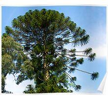 Monkey Puzzle Tree, Berwick, Australia. Poster