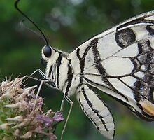 Chequered Swallowtail (Papilio demoleus) - Coromandel Valley, South Australia by Dan & Emma Monceaux