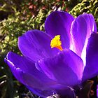 Purple Crocus by Kingsleyc