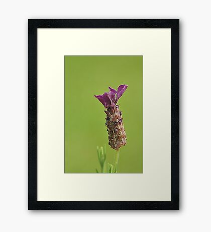 Summer Lavender  Framed Print