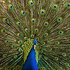 Peacock Display 2 by Ross Hutton