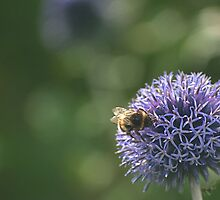 Bee on an Onion by Ian Mitchell
