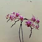 Orchid blooming by fourthangel