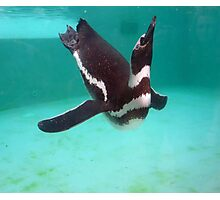 Penguin Swim  Photographic Print