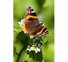 Red Admiral Butterfly Portrait Photographic Print