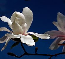 Dancing Magnolia by cclaude