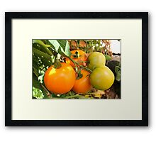 Mellow Yellow...Tomatoes kissed by the Sun Framed Print