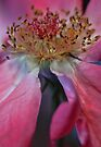 Golden Pink by yolanda