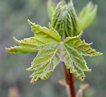 First Signs of Spring : Maple by AnnDixon