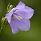 bellflower by were