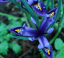 Spring Iris by Theresa Selley