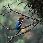 White Throated Kingfisher by solena432