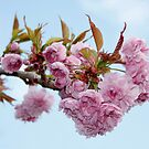 Spring Blossom & Blue Skies by AnnDixon