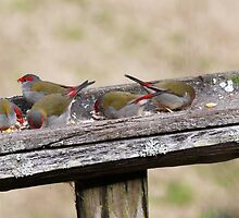 Red Brow Finches by Vicki Childs