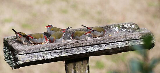 Red Brow Finches by Staffaholic