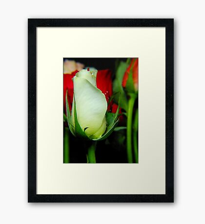 Beautiful roses Framed Print