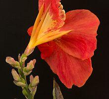 Orange Canna Flower by ddarbela