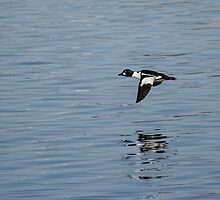 Flight Of The Drake Goldeneye by Thomas Young