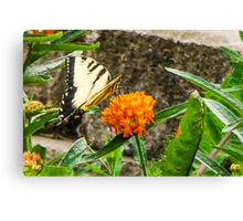 Eastern Tiger Swallowtail Butterfly On Butterfly Weed Canvas Print