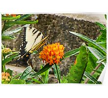 Eastern Tiger Swallowtail Butterfly On Butterfly Weed Poster