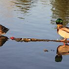 Ducks in water with Reflection by art-hammer