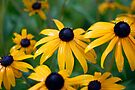 Rain Soaked Susans (Rudbeckia hirta - Asteraceae) by Gene Walls