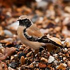 desert wheatear by Grandalf
