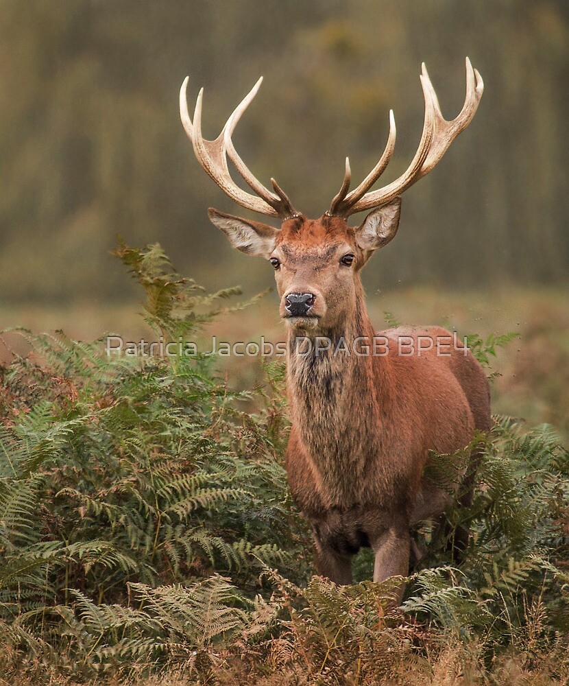 Majestic Red Stag by Patricia Jacobs DPAGB LRPS BPE4