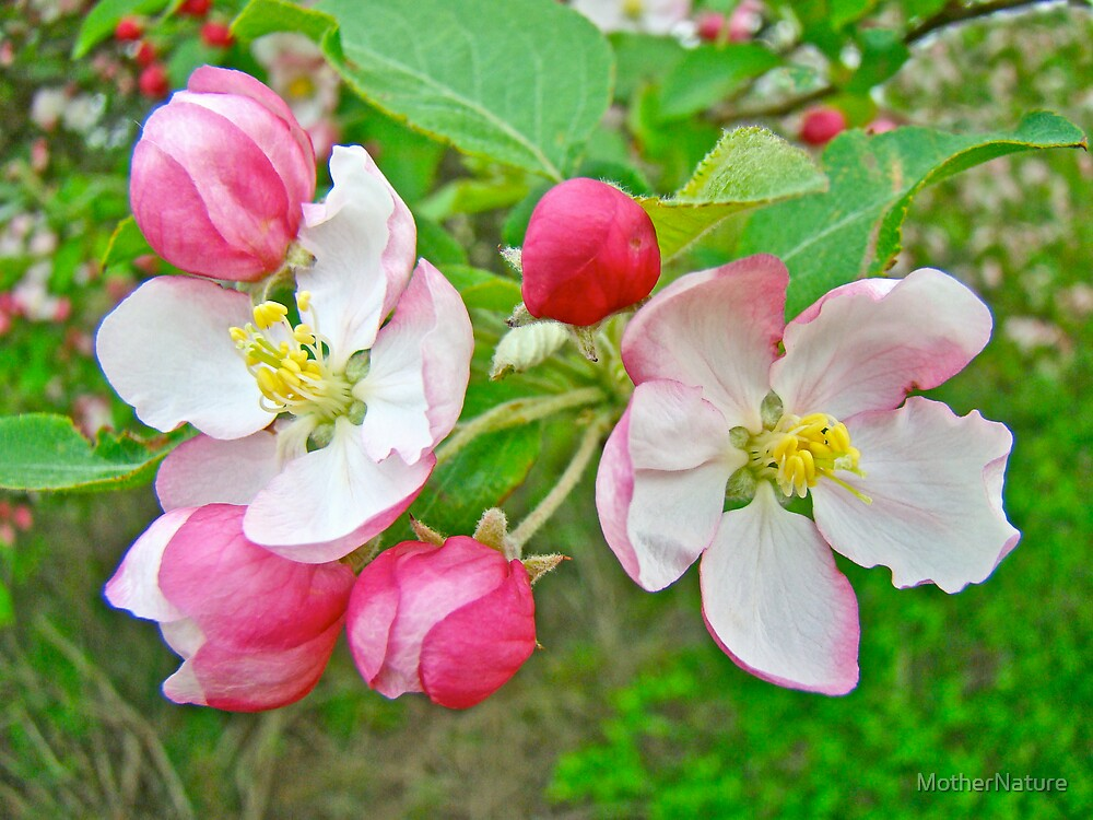 Apple Blossoms -  Melody in Pink and White by MotherNature
