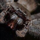 close up huntsman by Paul Halley