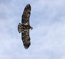 Immature Bald Eagle With A Fish by Thomas Young