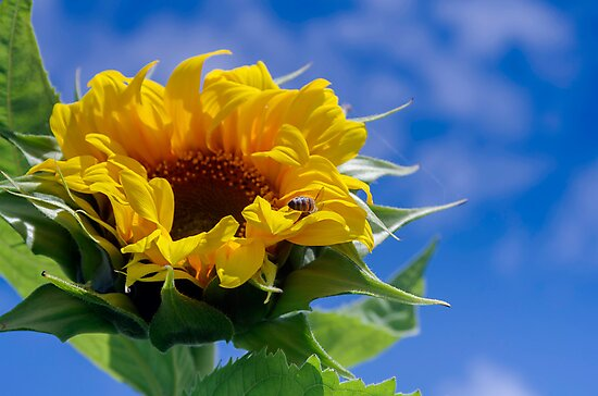 Bees in the Sunflowers by Clare Colins