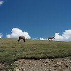 Mt. Evans Elk by kchase