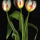 White Tulips. Red Stripes by Barbara Wyeth