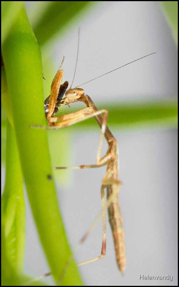 Preying Mantis by Helenvandy