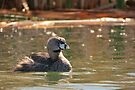 Pied-billed Grebe (Breeding Adult) by Kimberly Chadwick