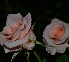 Peach Colored Rose by Paul Halley