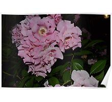 Pink Clustered Roses Poster