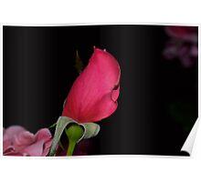 Pink Rose Bud Poster