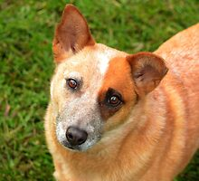 Red cattle dog cross 3 by Joel Anderson