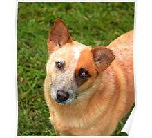 Red cattle dog cross 3 Poster