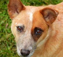 Red cattle dog cross 4 by Joel Anderson