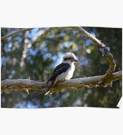 Kookaburra vigil 2 Poster