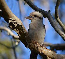 Kookaburra vigil 3 by Joel Anderson