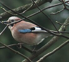 British Jay - Mr Elusive... by Rivendell7