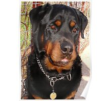 Mature Male Rottweiler Portrait Poster