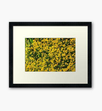 Tickseed Sunflower Framed Print