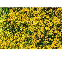 Tickseed Sunflower Photographic Print