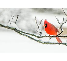 Cardinal In Snow Photographic Print